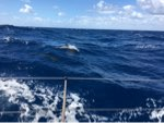 Dolphins, en route to Azores